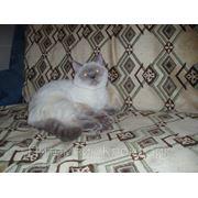 Шотландский страйт колор поинт кот для вязок фото