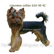 Стрижка собак, продажа собак, мальтийская болонка, йоркширский терьер. фото