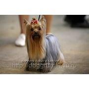 Уроки по обучению стрижке собак на DVD фото