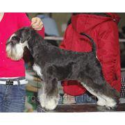 Стрижка собак бесплатно. фото