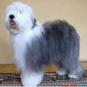 Мытье длинношерстных собак фото