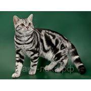 Расчесывание Кошки Короткошерстные фото