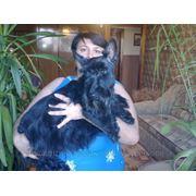 Тримминг жесткошерстных пород собак в Херсоне. фото