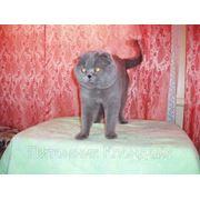 Вислоухий кот для вязок фото