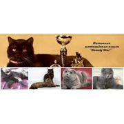 Шотландские коты для вязок фото
