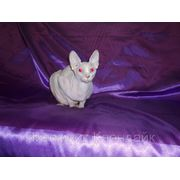Канадский сфинкс кот для вязок. фото
