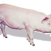 Чистопородные свиньи и хряки фото