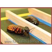 Тараканьи бега на праздник фото