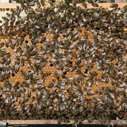 Куплю Отводки пчел фото