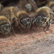 Пчеломатки, пчелопакты фото