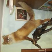 Чучело лисицы фото