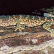 Токи (Gekko gekko) фото