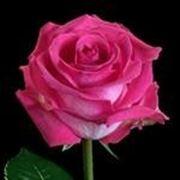 Роза Верди фото