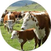 Корма для крупного рогатого скота фото