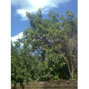 Обрезка деревьев Киевская область фото