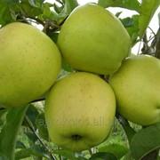 Яблуня Голден Делішес підщепа М9 фото