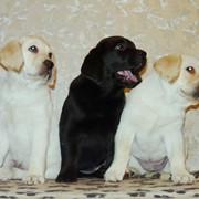Помощь в выборе щенка лабрадора фото