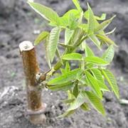 Саженцы грецкого ореха сорт Когэлничану фото