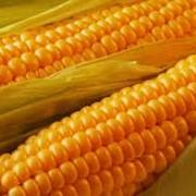 Семена Кукурузы. Сладкая. Голландия фото