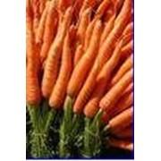 Морковь АБАКО фото