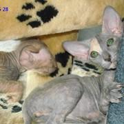 Котята сфинкс фото