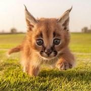 Коты Саванна Ф1 у вас дома! фото