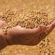 Организация купит зерно. фото