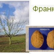 Саженцы грецкого ореха. Сорт Franquette фото