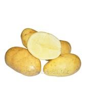Картофель Румба 1 репродукция фото