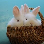 Кролики породы Новозеландский белый фото