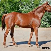 Лошади ахалтекинской и английской породы! фото