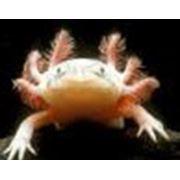 Аксолотль альбинос белый (Axolotl albino) фото