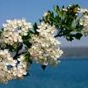 Цветки боярышника фото
