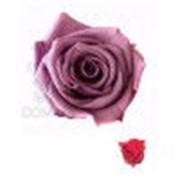 Роза Мини 12гол. кранбери фото
