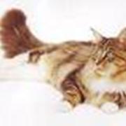 Кошки енотовые, мейн-куны – американская енотовая кошка фото