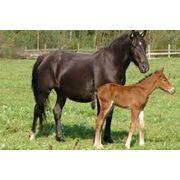 Лошади верхово-упряжные фото