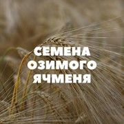Семена озимого ячменя на посев фото