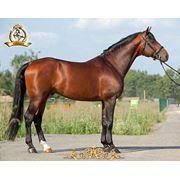 Лошадь голштинская фото
