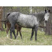 Лошадь орловская чистопородная фото