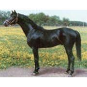 Лошадь кабардинской породы фото