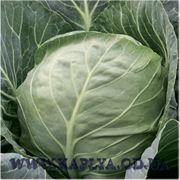 Семена капусты купить Этма калиброванное. 1000 сем.Рийк цван. фото