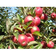 Яблоки из Молдовы фото