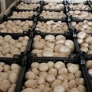 Продаем грибы оптом в Краснодаре фото