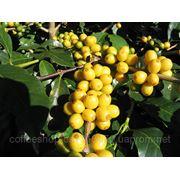 Кофе Бразилия Бурбон (Brazil Bourbon Arabica 100%) зелёный фото