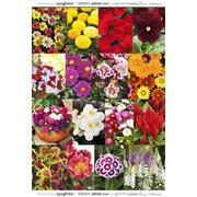 СЕМЕНА и ЛУКОВИЦЫ цветов в Ташкенте из Европы, США и Азии на заказ. фото