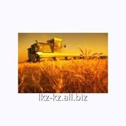 Услуга засевания озимой пшеницы фото