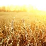 Пшеница, подсолнечник, рапс фото