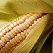Кукуруза комбикормрвая фото