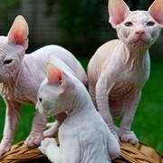 Голорожденные котята донского сфинкса. фото