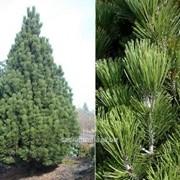 Сосна Pinus leucodermis Compact Gem фото